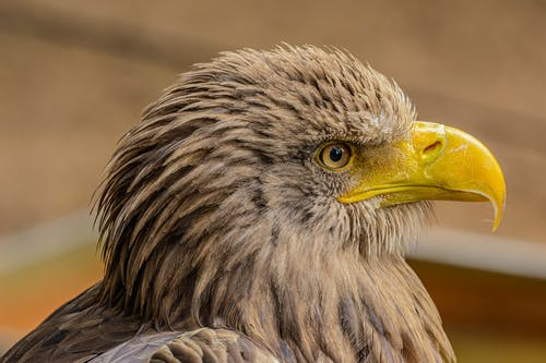 Close-Up Photo of Brown Eagle