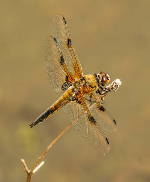 Close-Up Photo Of Dragonfly