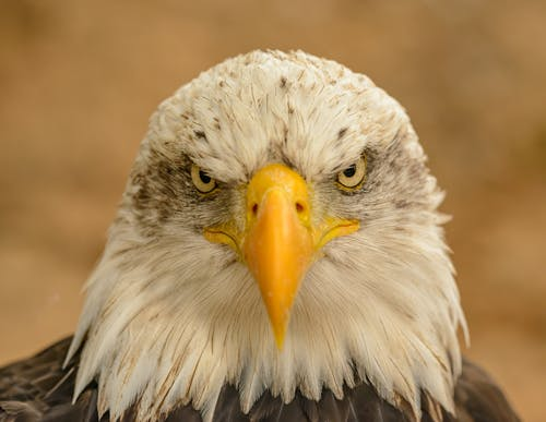 Close-Up Photo of Bald Eagle