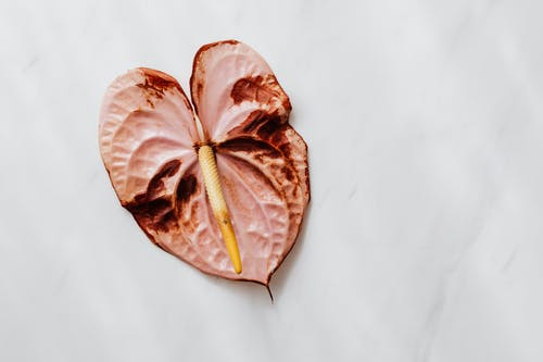 Dry Anthurium Flower on White Surface