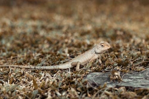 Brown Lizard on Brown Dried Grass