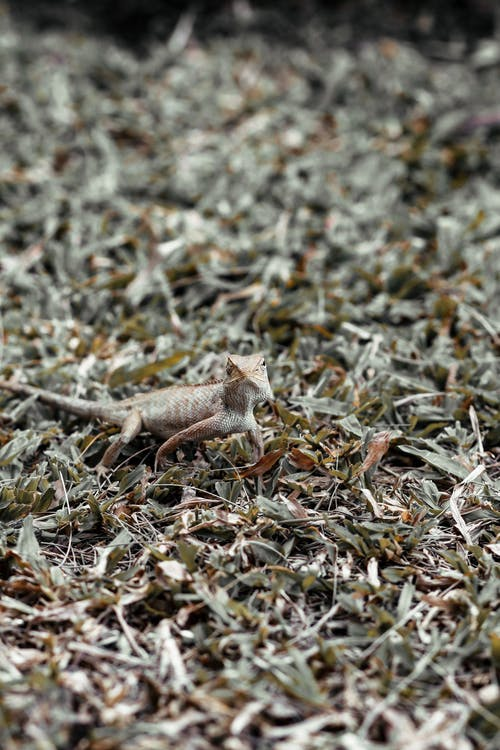 Bearded Dragon on Brown Dried Leaves