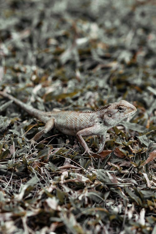 Brown Bearded Dragon on Green Grass