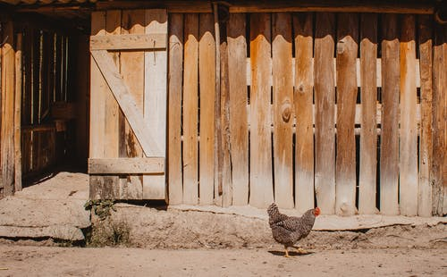 Photo Of Chicken Near Wooden Fence