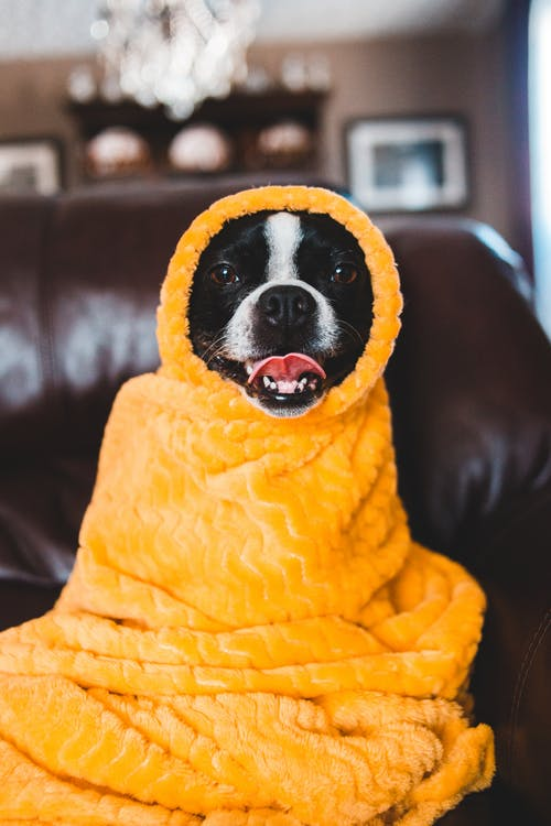 Photo Of Dog Covered With Yellow Blanket