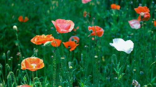 Close-Up Photo Of Poppies