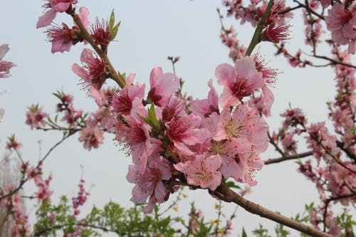 Close-Up Photo Of Cherry Blossom