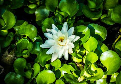 Fotobanka sbezplatnými fotkami na tému 4k tapety, biele kvety, botanický, flóra