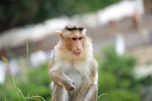 Selective Focus Photo of a Macaque Monkey Near Green Grass