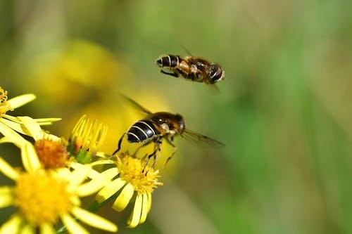 Immagine gratuita di ape