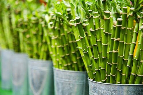 Ingyenes stockfotó bambusz, botanikus, egészséges, farm témában