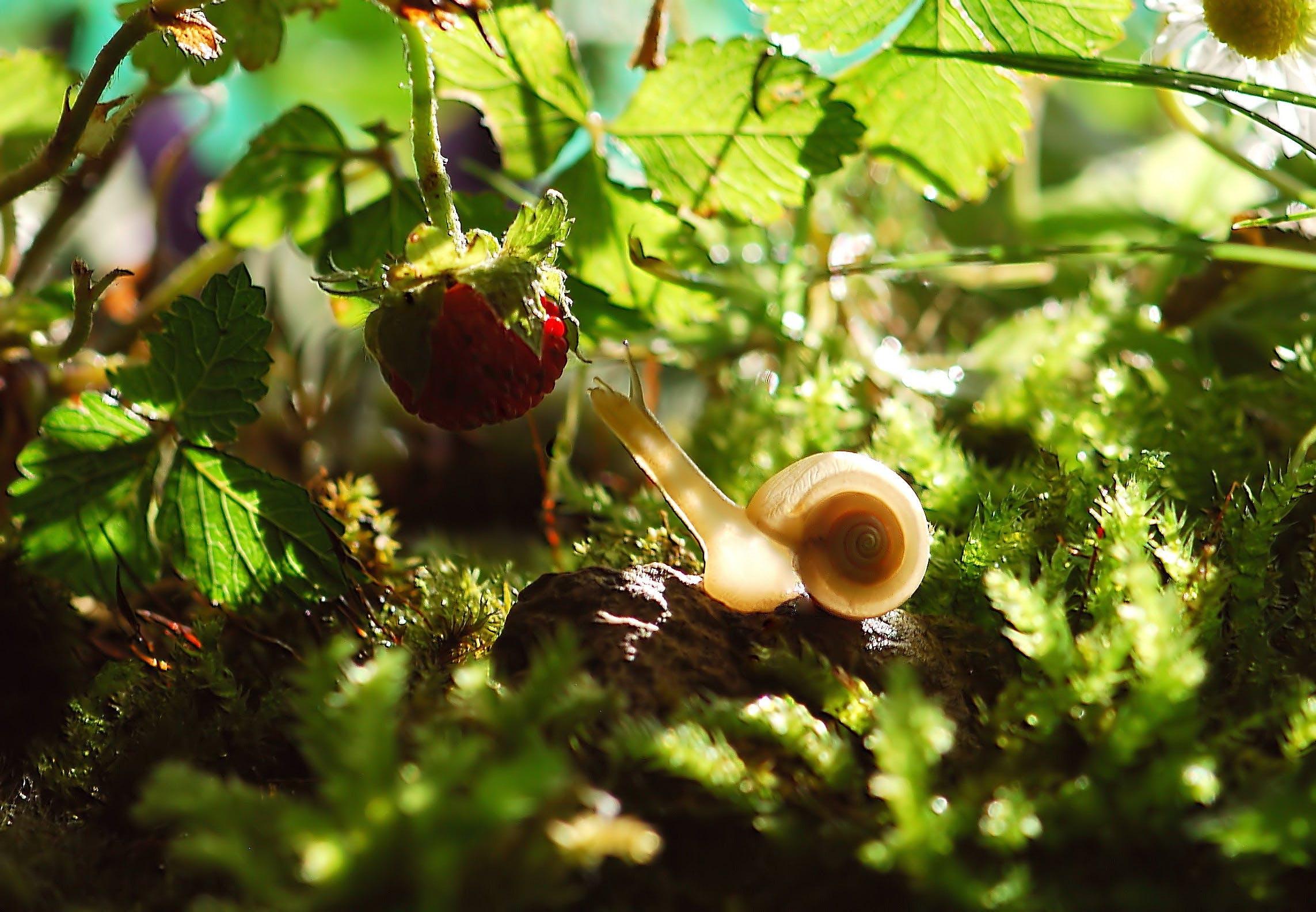 White Snail Near Red Fruit