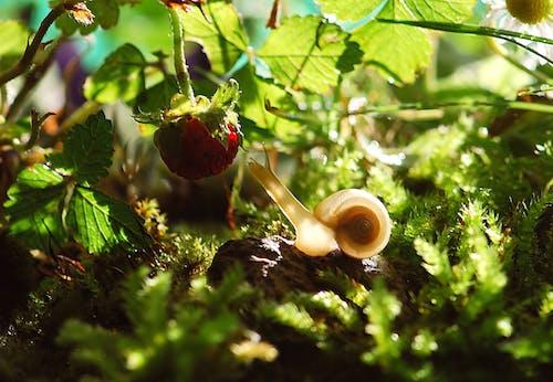 Ingyenes stockfotó állat, csiga, eper, fű témában