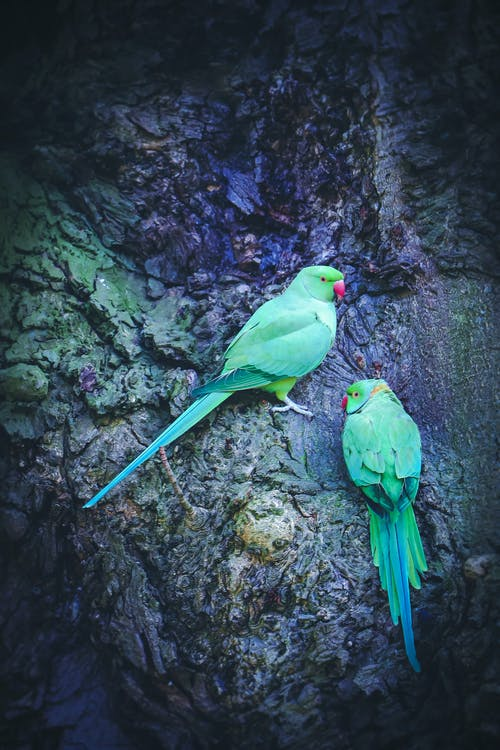 Free stock photo of 808gfxstudios, animals, birds, green parrot