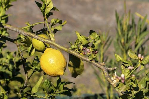 Close-Up Photo Of Lemons