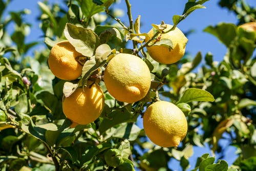 Close-Up Photo Of Lemons