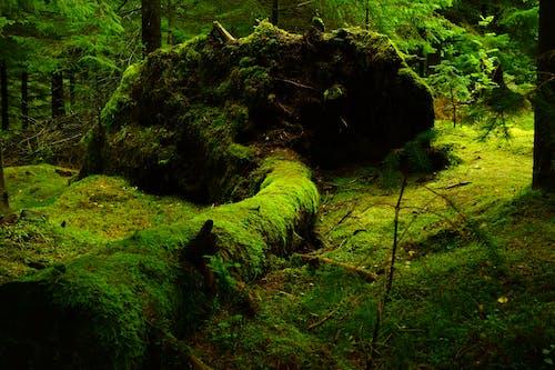 Imagine de stoc gratuită din arbori, codru, copac căzut, copaci