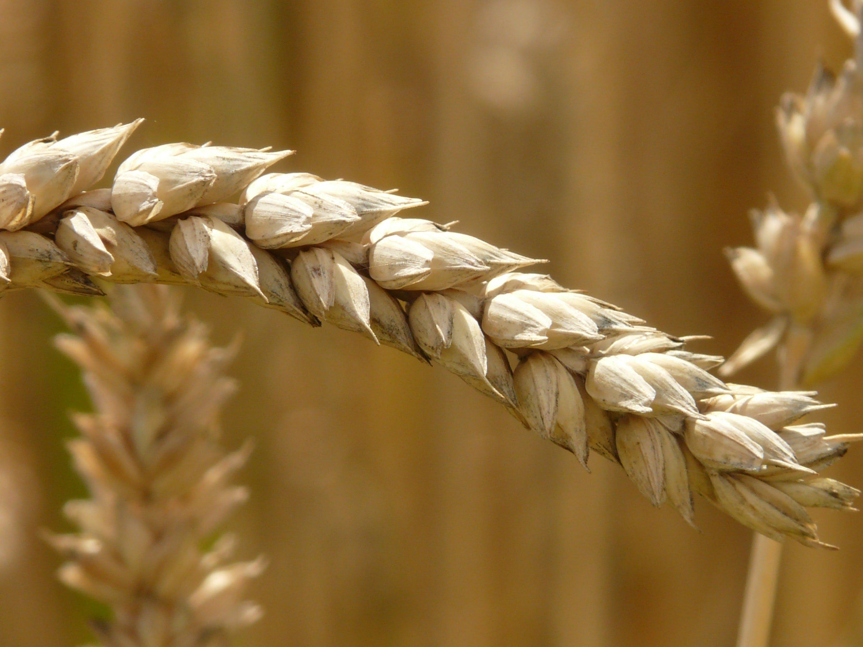 Selective Focus Photography of Brown Barley