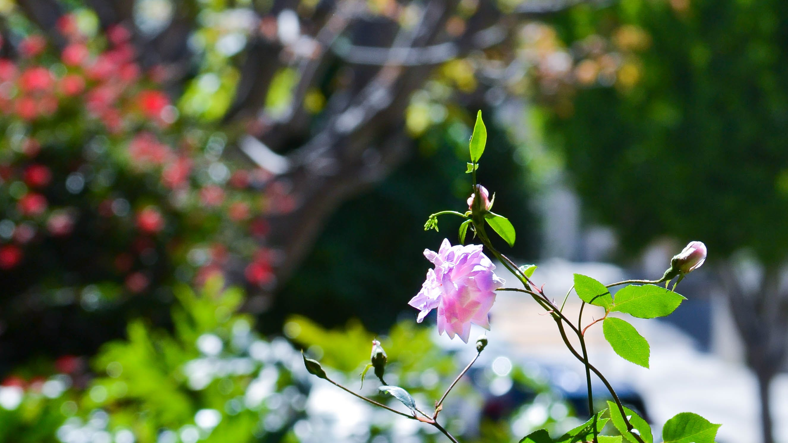 Free stock photo of beautiful flowers, flower, pink flower, spring