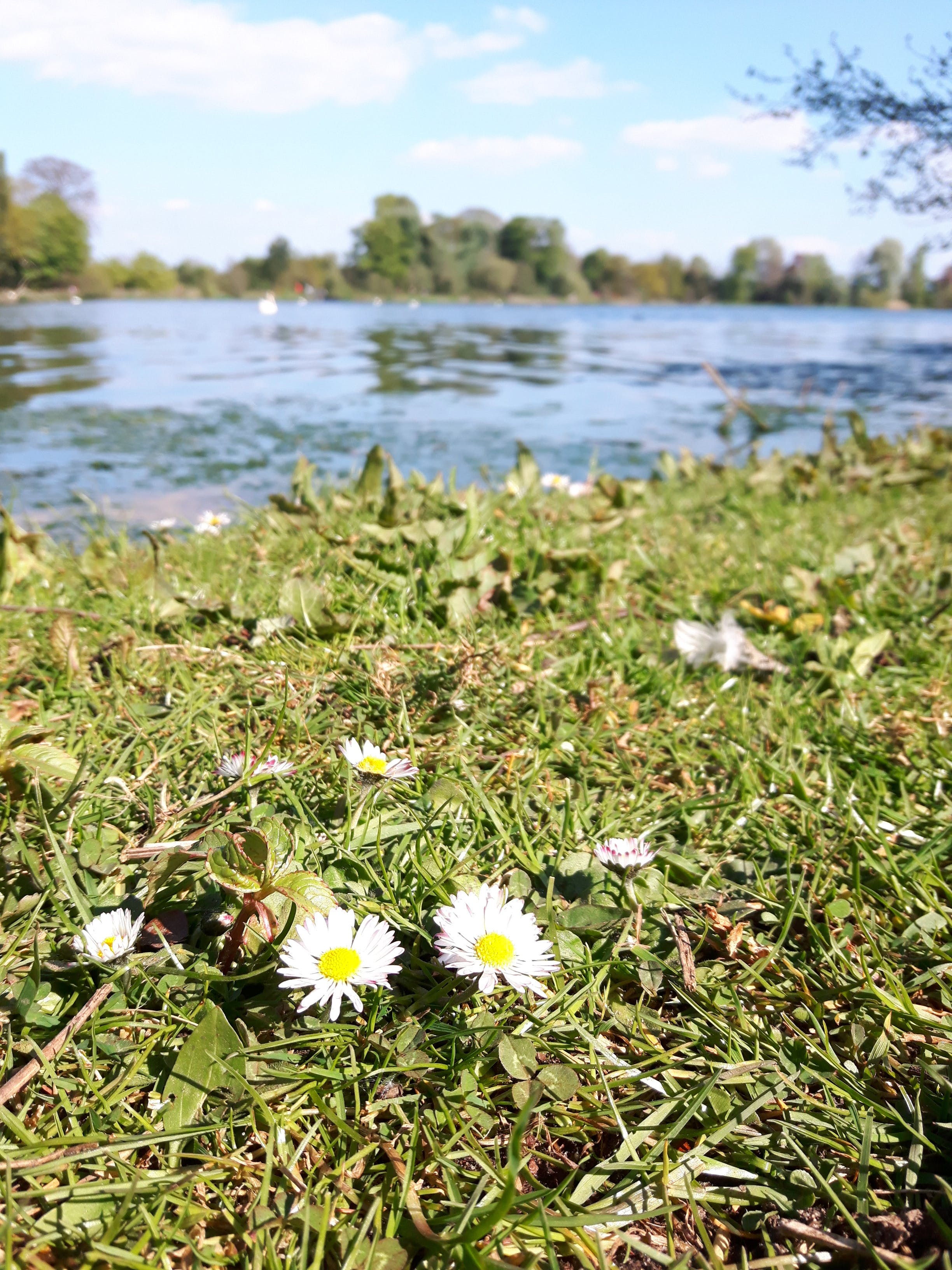 Free stock photo of blade of grass, daises, grass field, lake
