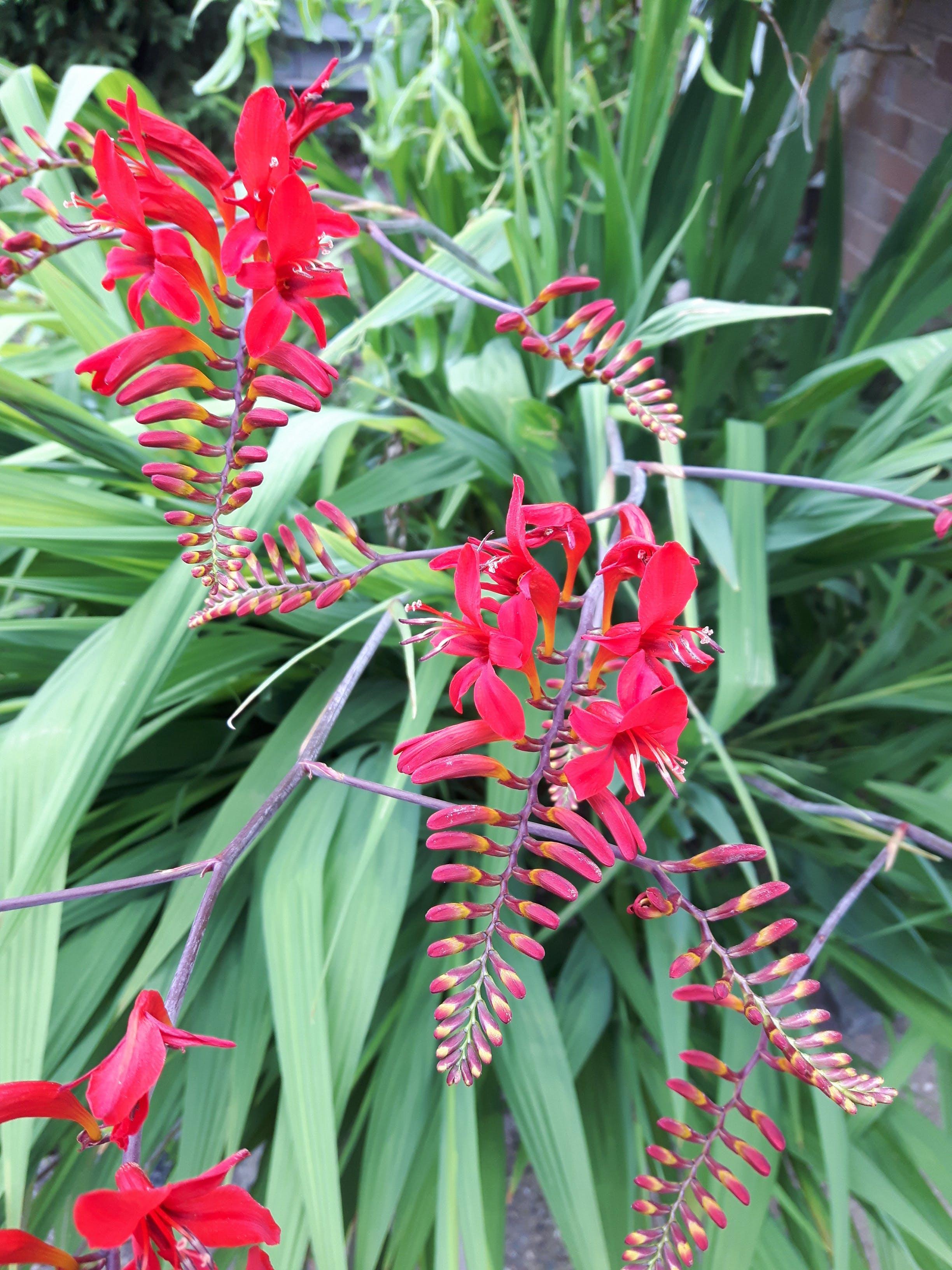 Free stock photo of Crocosmia, red crocosmia, red flowers, red plants