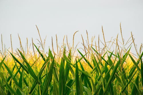 Lush corn plantation in countryside during daytime