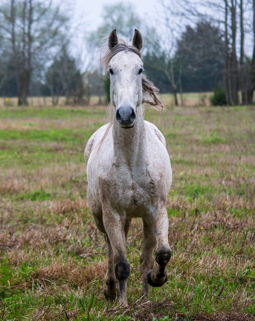 Photo of a White Horse Running