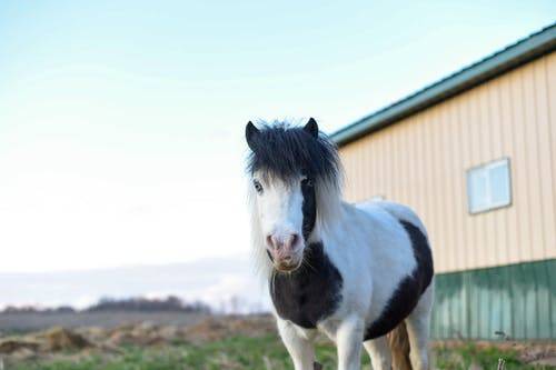 Small pinto horse standing on  pasture in farmland