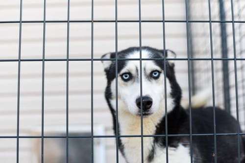 Close-Up Photo Of Husky In A Cage