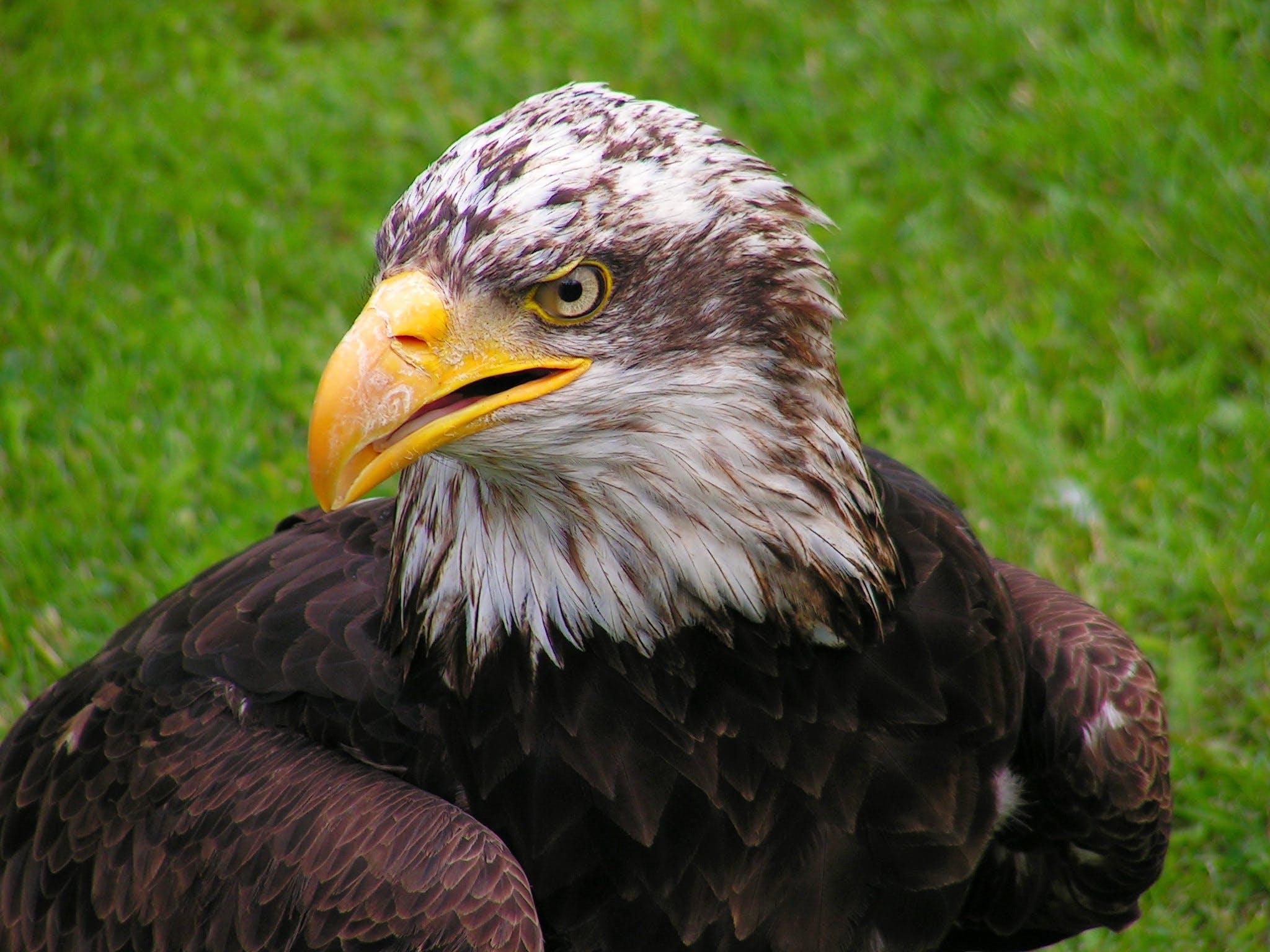beak, eagle