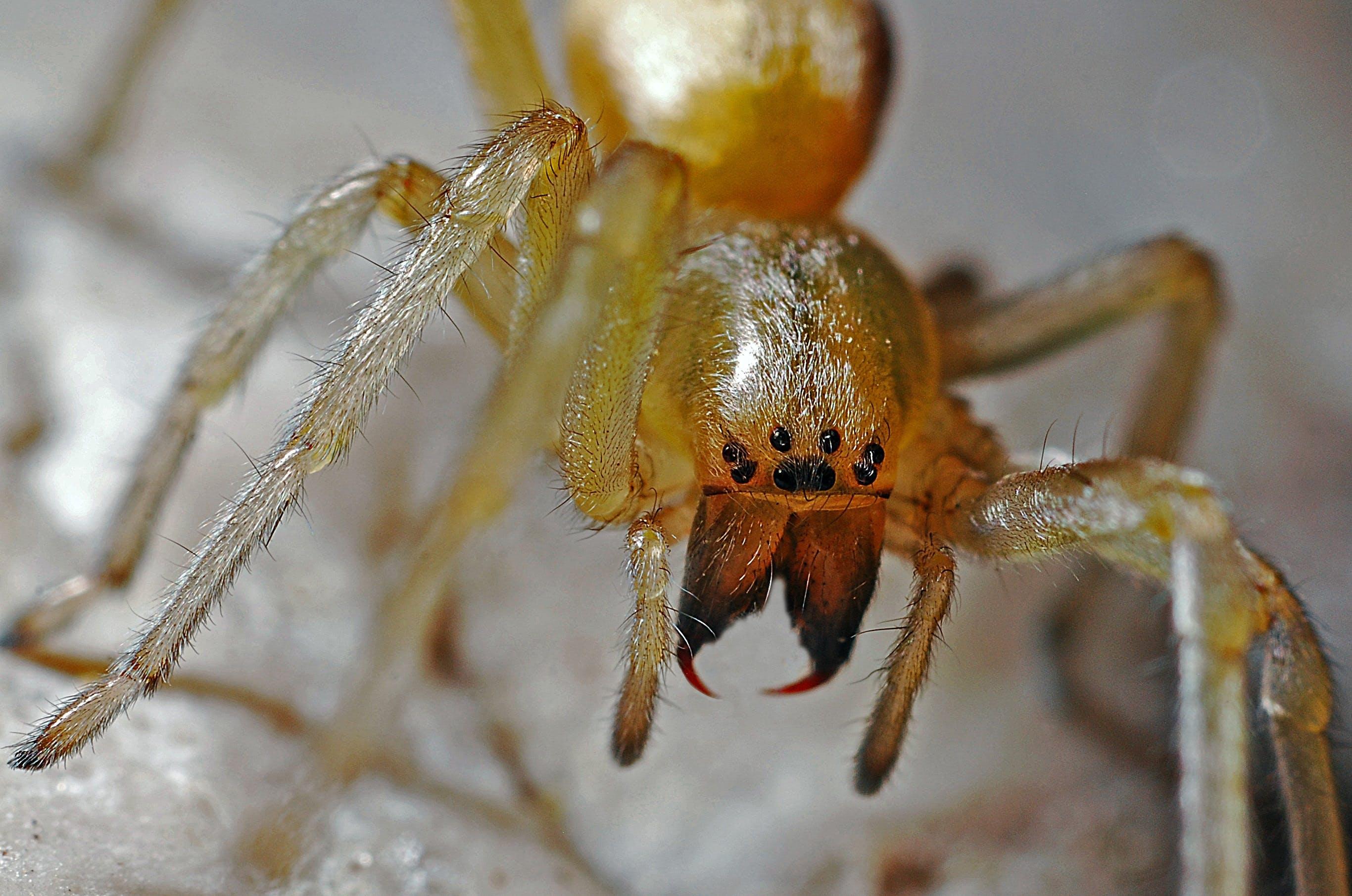 macro, αράχνη, αραχνοειδές έντομο