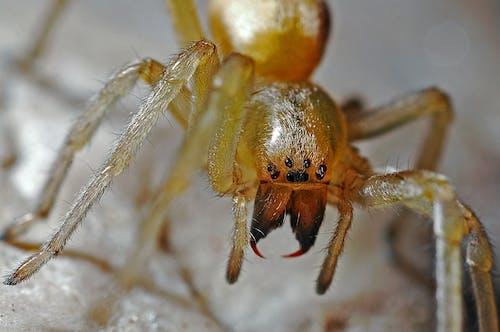 Kostnadsfri bild av insekt, makro, närbild, Spindel