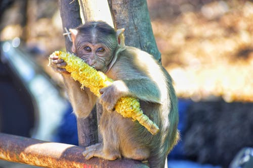 Brown Monkey Holding Yellow Corn