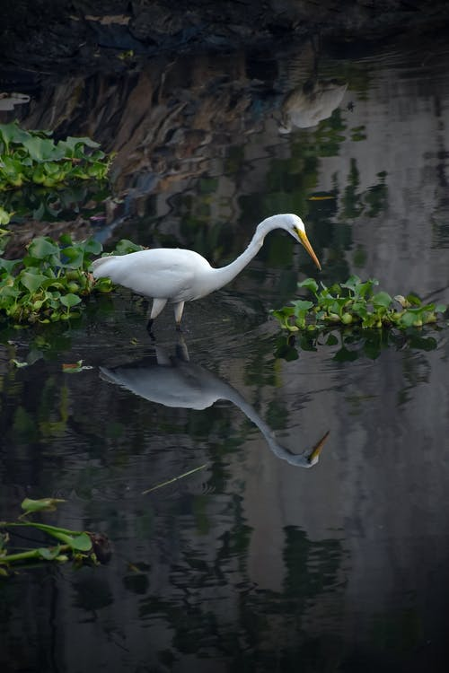 White Egret Bird on Water Near Green Plants