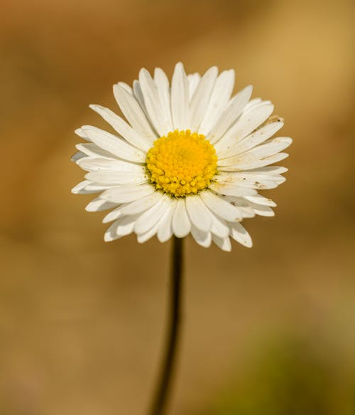 Close-Up Photo Of Daisy Flower