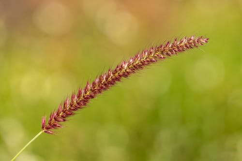 Brown Wheat Grass Flower in Tilt Shift Lens