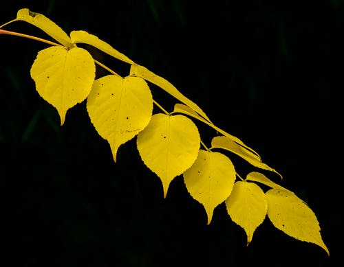 Yellow Leaves in Black Background