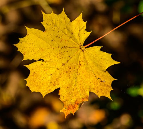 Golden Yellow Maple Leaf in Close Up Photography