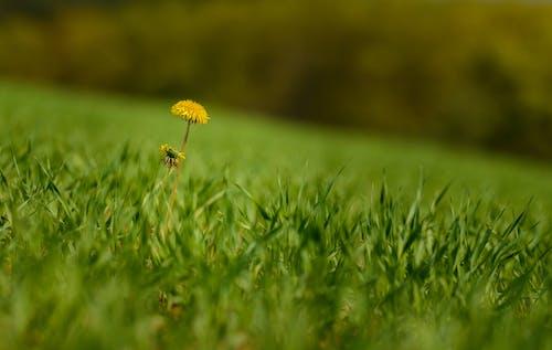 Yellow Dandelion in Green Grass Field