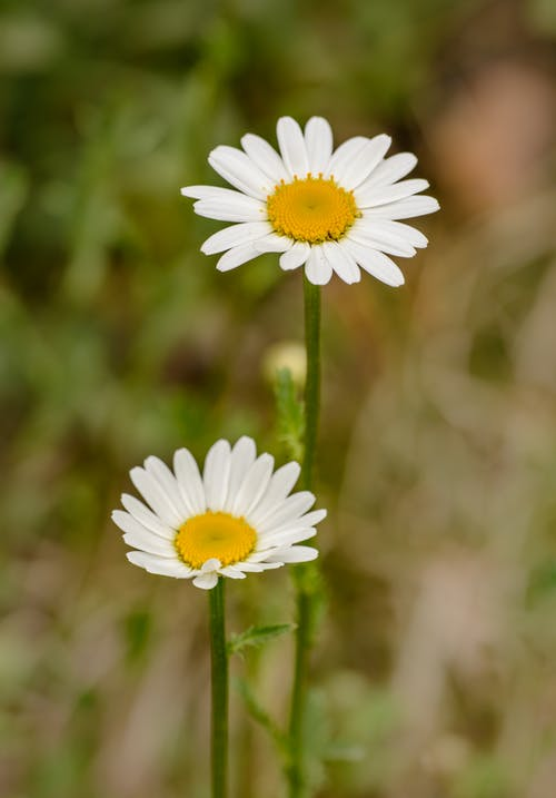 White and Yellow Daisy in Bloom