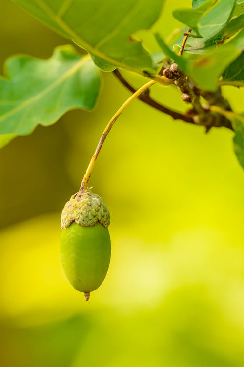 Young Acorn in Macro Photography