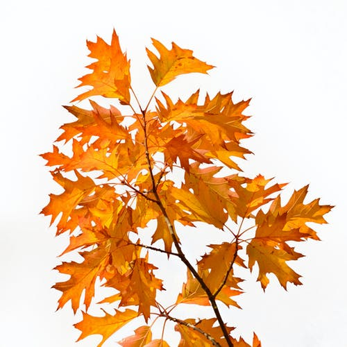 Brown Maple Leaves on White Background