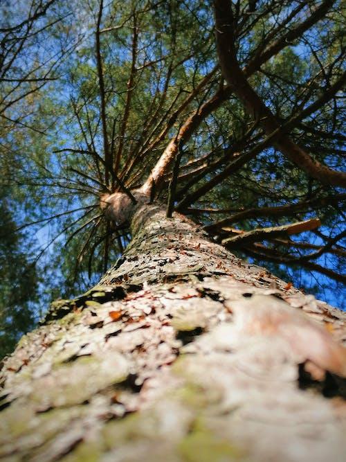 Free stock photo of bare tree, bluesky