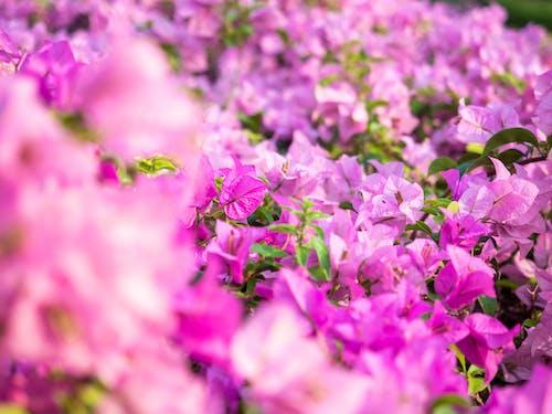 Immagine gratuita di bellissimo, bocciolo, botanico, buganvillee