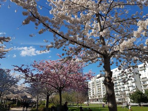 Free stock photo of fleurs de cerisier, printemps