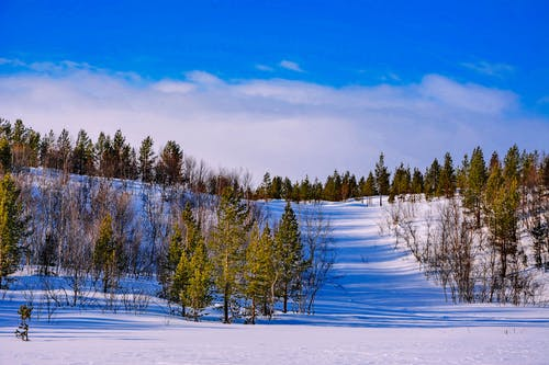 Green Trees on Snow Covered Ground Under Blue Sky