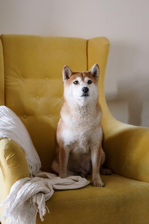 Brown Dog on Yellow Armchair
