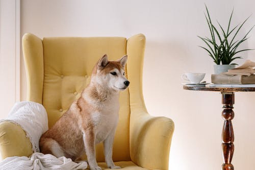 Free stock photo of animal, appartment, armchair, at home