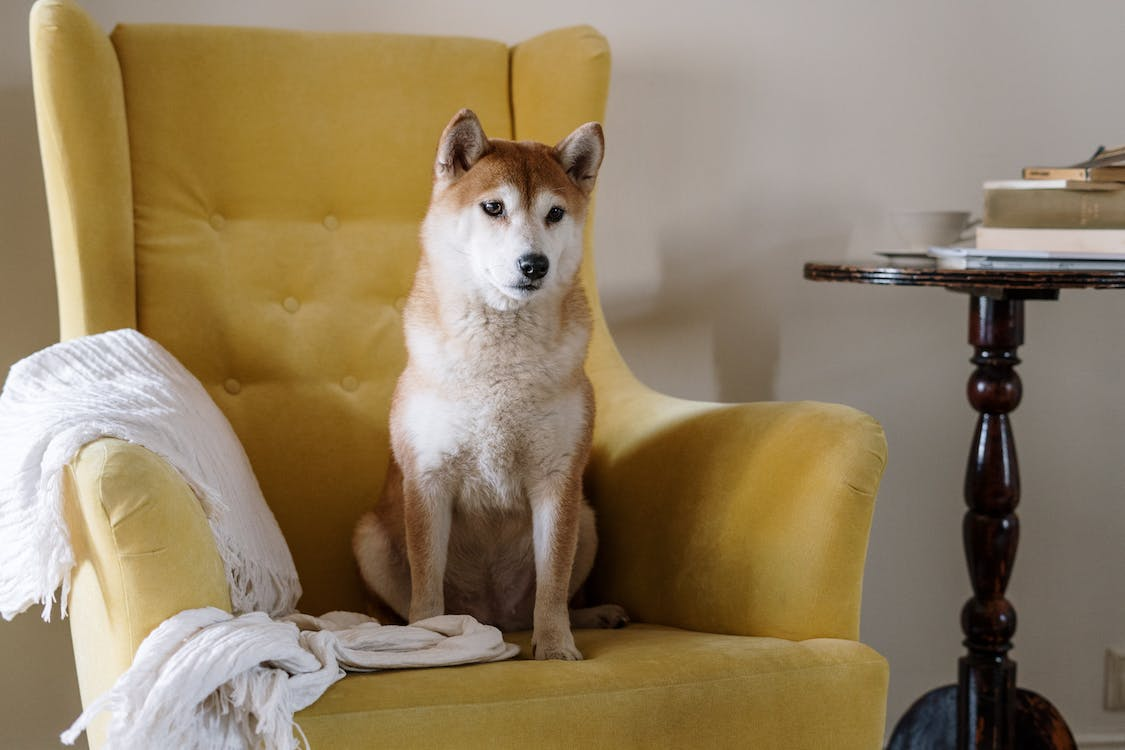 Free stock photo of animal, appartment, armchair