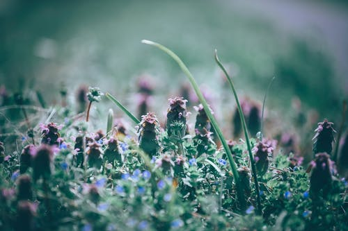 Closeup of blooming exotic red dead nettle plant with purple flowers growing in green field